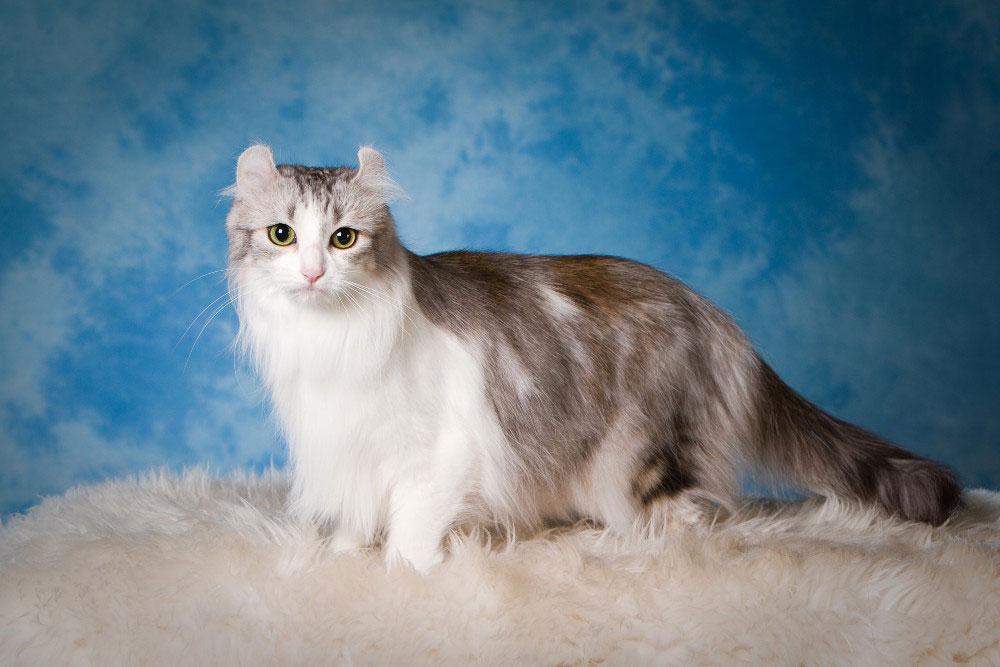 Gato american curl raza