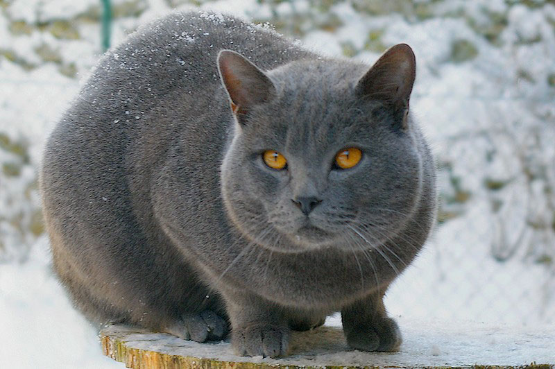 Gato Chartreux