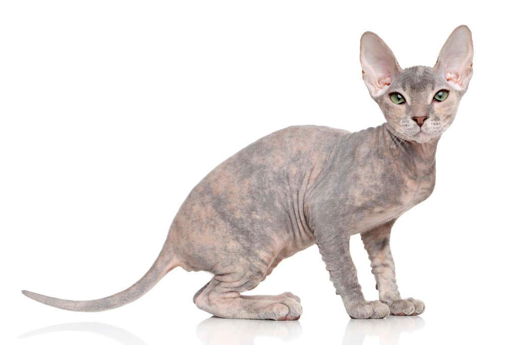 Gato Don Sphynx Raza