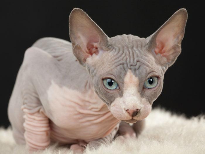 Gato Don Sphynx