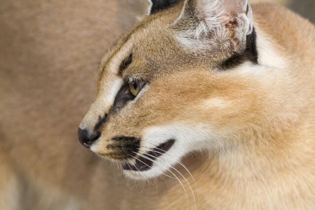 Gato dorado africano