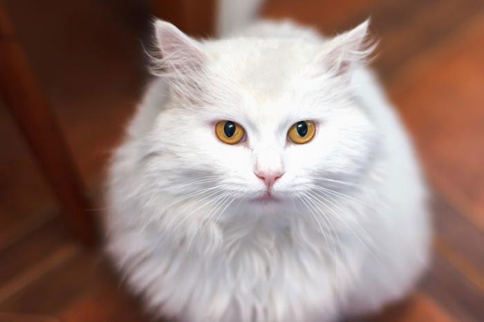 Gato angora turco raza
