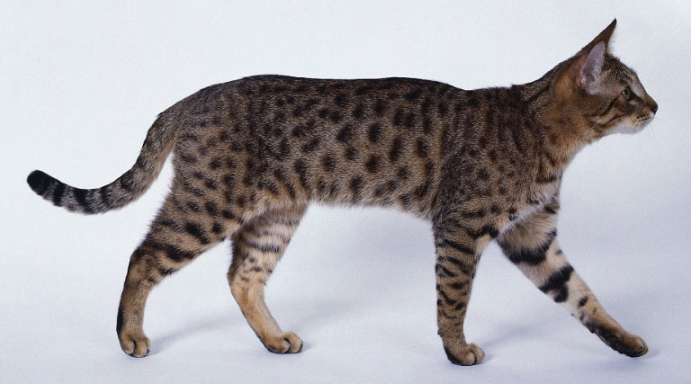 Gato California Spangled