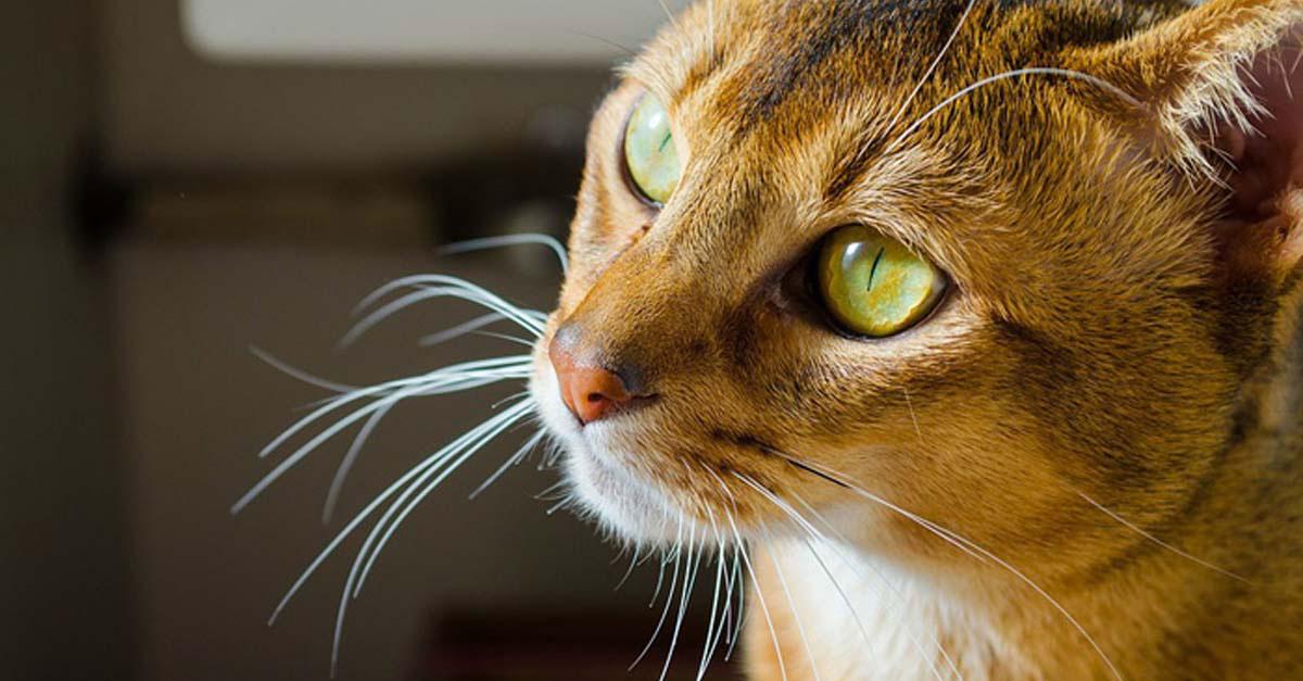 gato abisinio raza