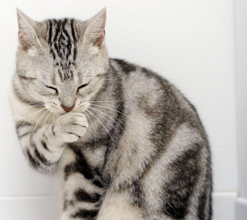 Gato american wirehair raza