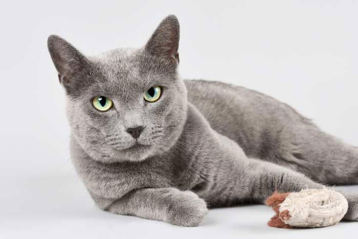 Gato azul raza