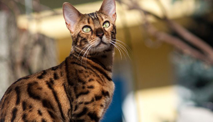 Gato Bengala Raza