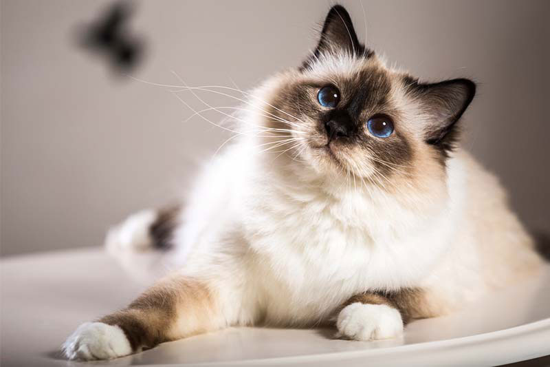 gato-birmano
