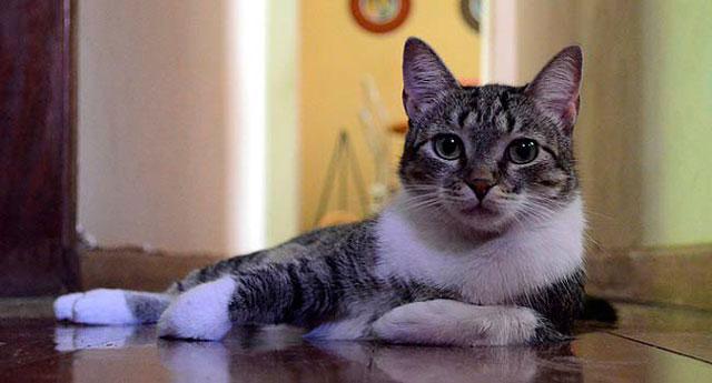 Gato Brazilian Shorthair Raza