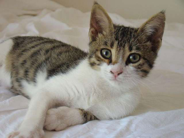 Gato Brazilian Shorthair