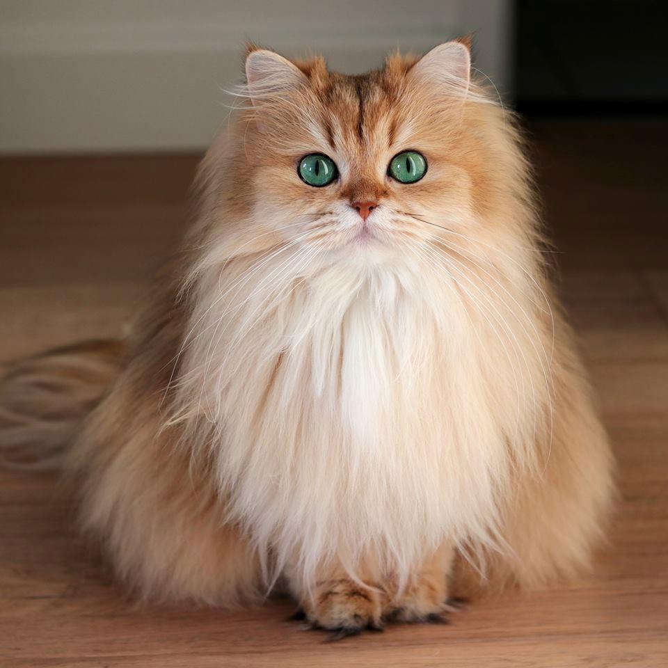 gato british longhair