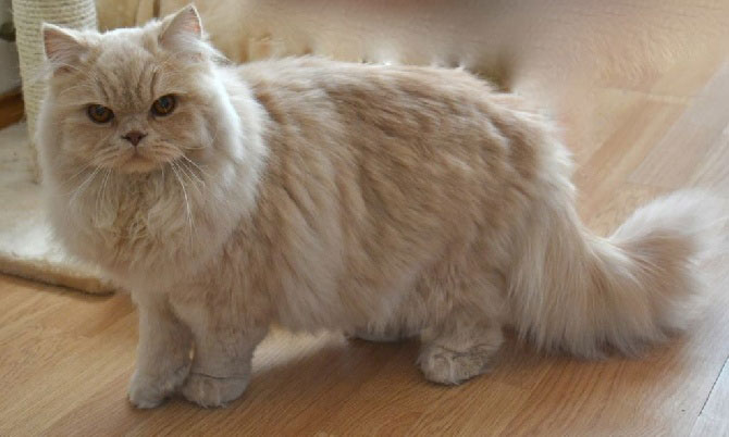 gato british longhair raza