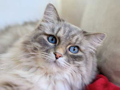 Gato British semi longhair