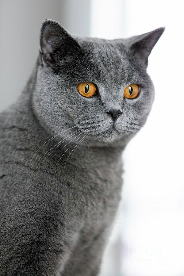 Gato British Shorthair