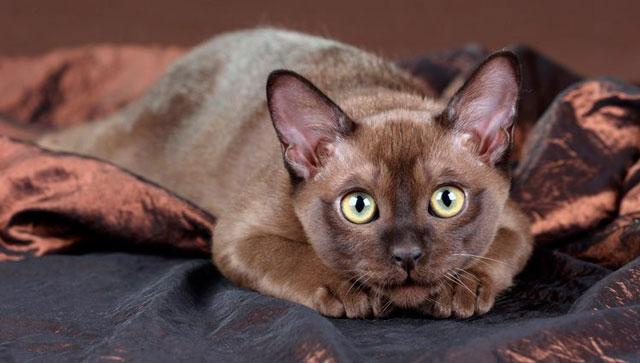 Gato Burmés raza