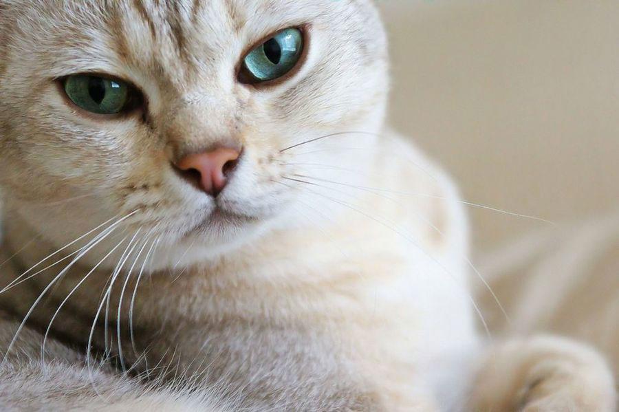 gato burmilla raza