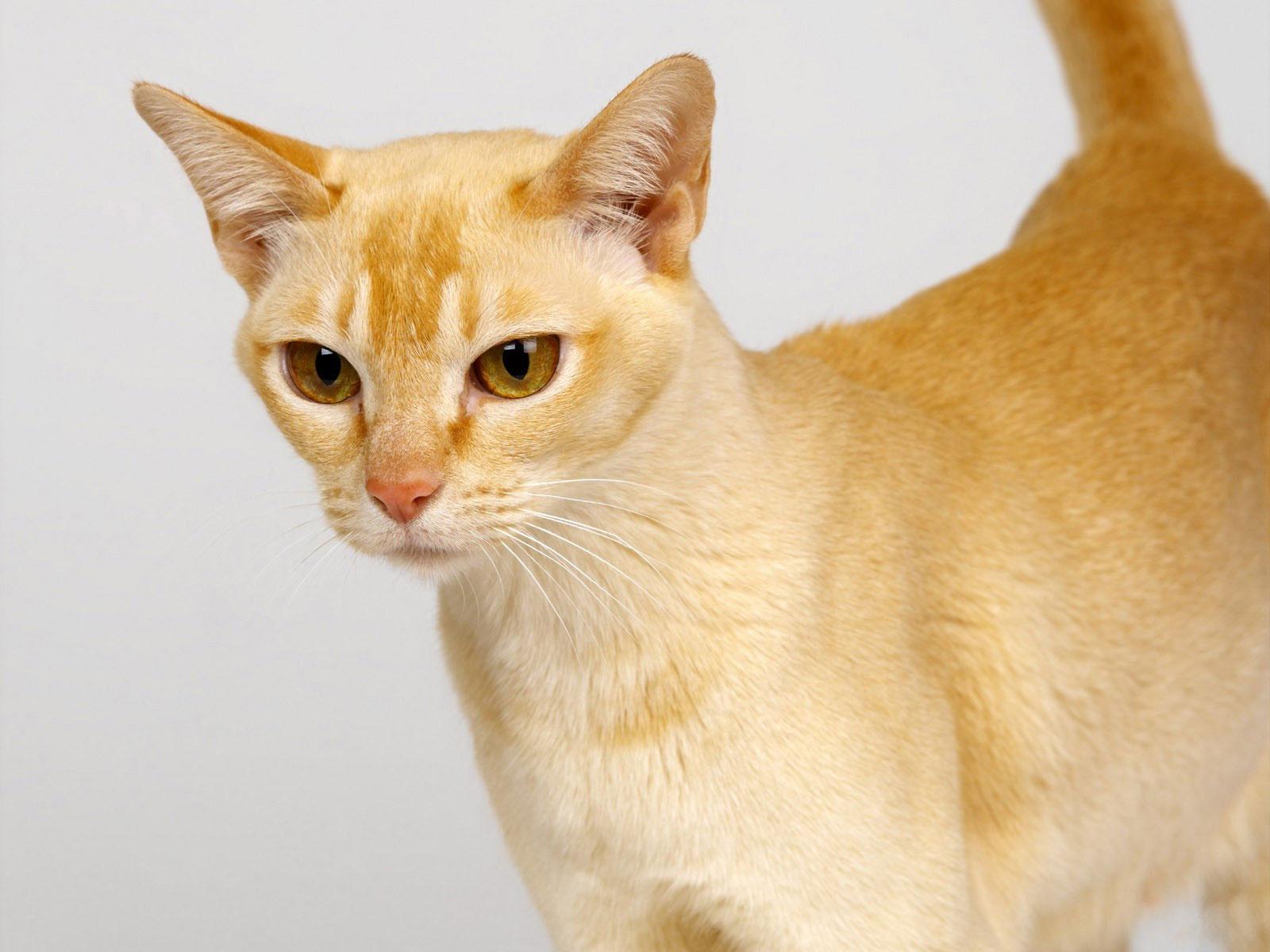 Gato Cyelon raza