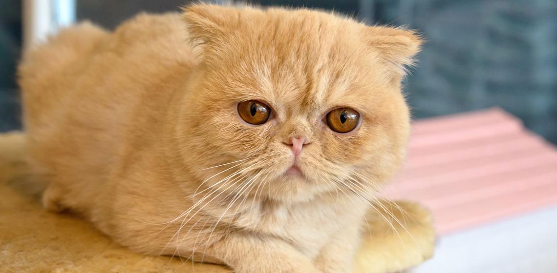Gato exótico de pelo corto raza