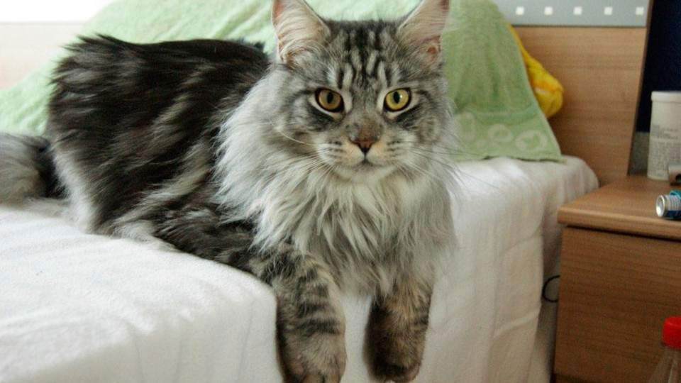 Gato Maine Coon raza