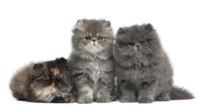 Gato Persa raza