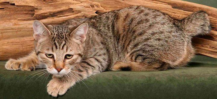 Gato Pixie Bob