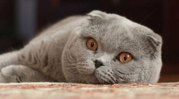 Gato Scottish Fold raza