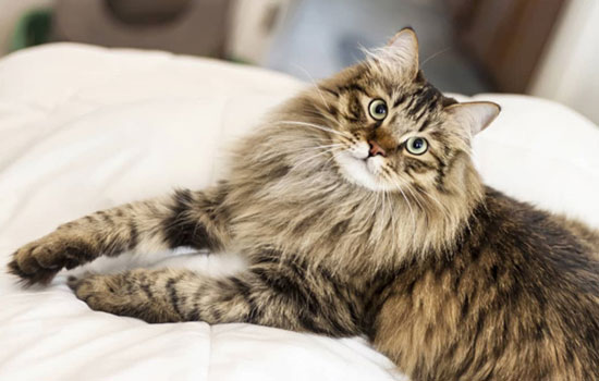Gato siberiano