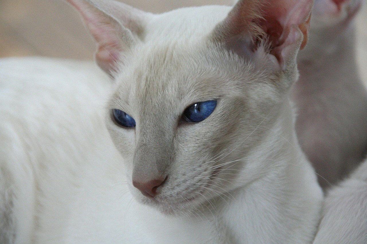 Gato Tonkinés raza