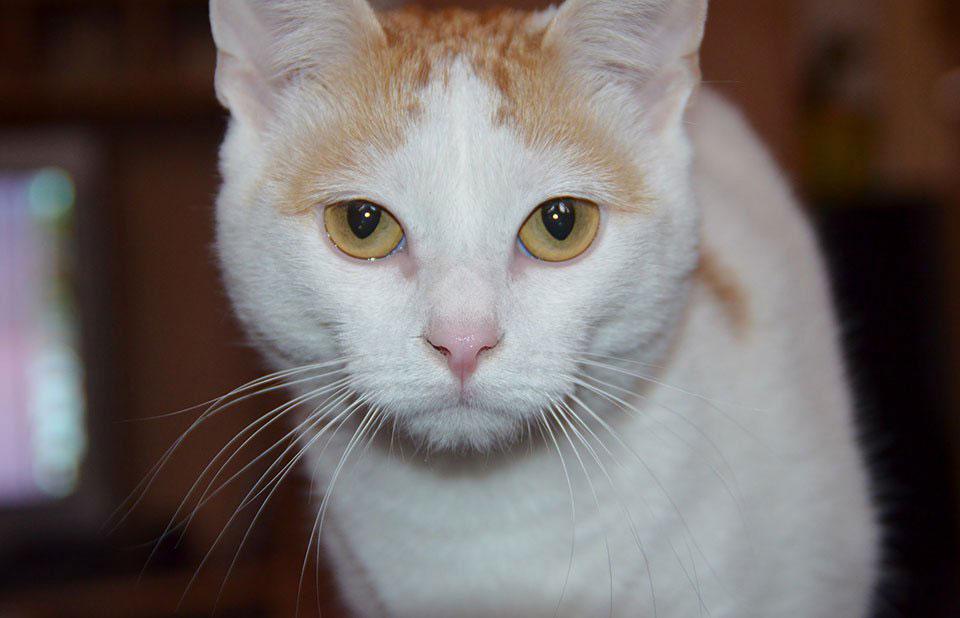 Gato Van Turko