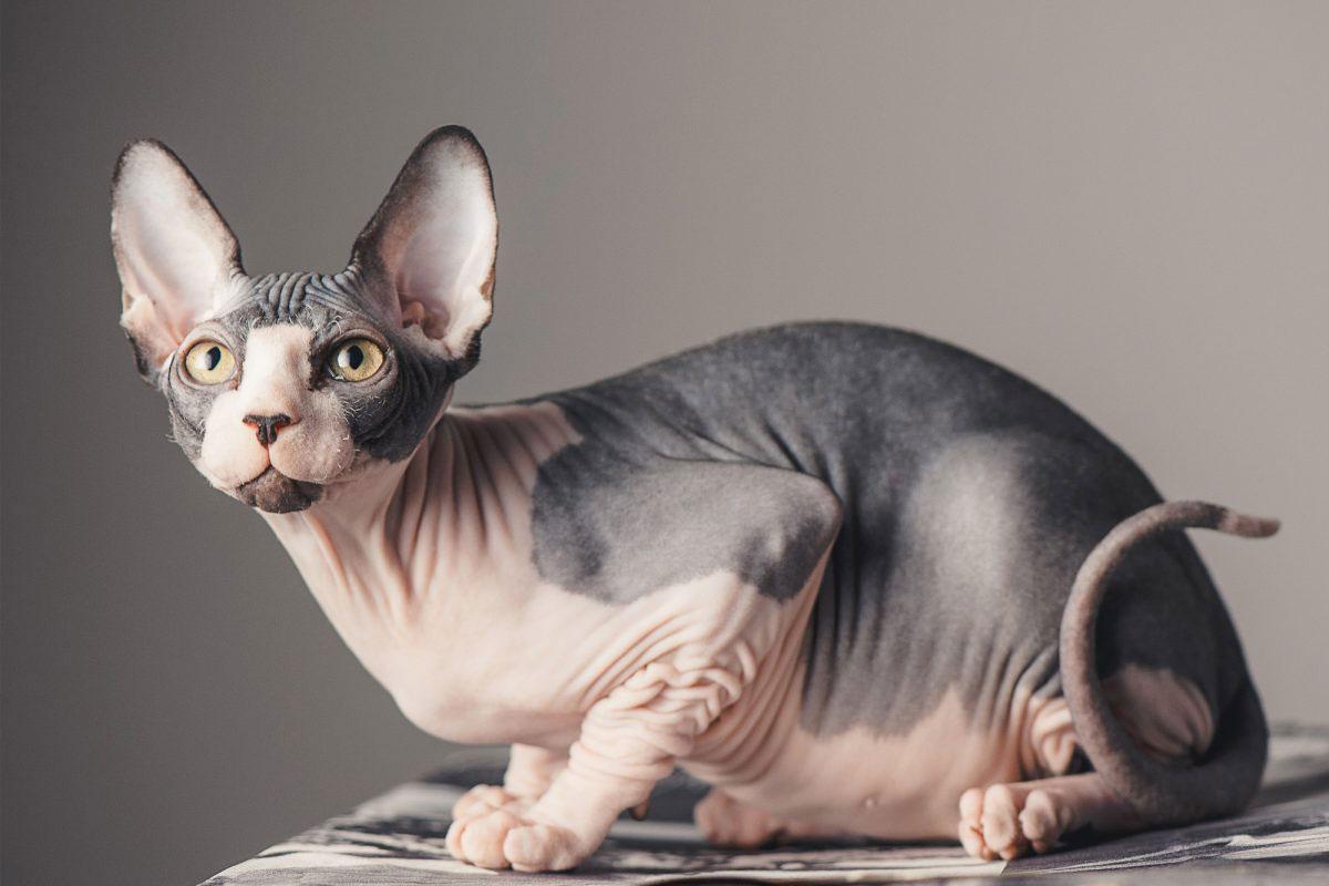 Gato Sphynx raza