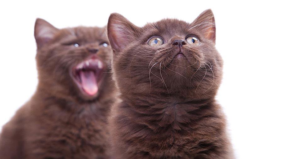 Gato York raza