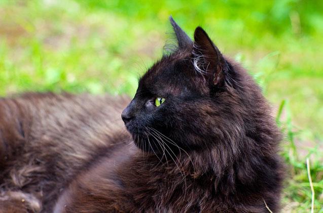 Gato York