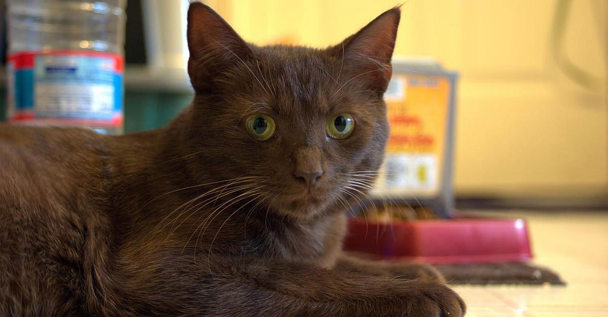Gato Habana brown raza