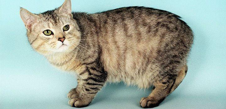 Gato Manx Raza