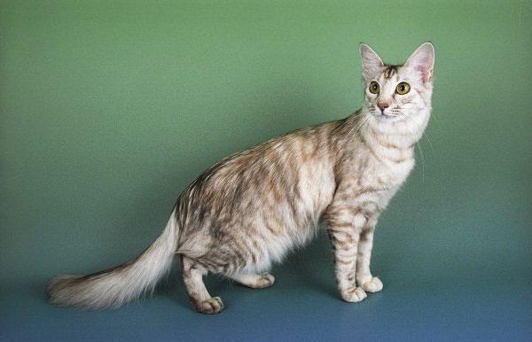 Gato Oriental de pelo largo raza
