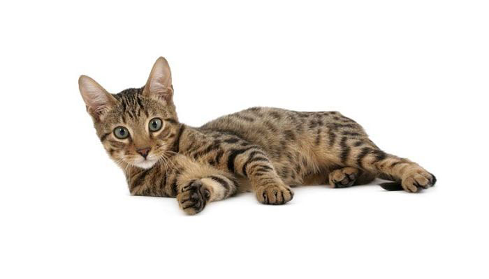 Gato Serengeti raza