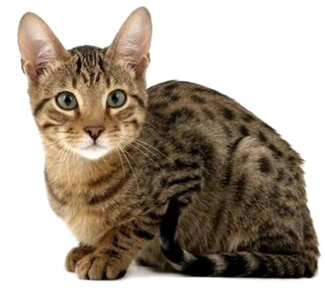 Gato Serengeti