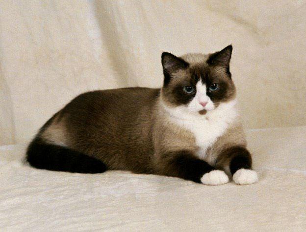 Gato Snowshoe