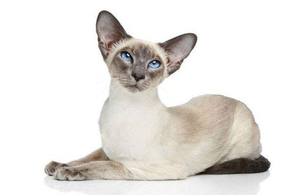 Gato Siamés raza