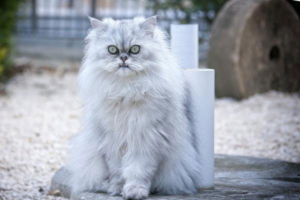 gatos de pelo largo bonitos