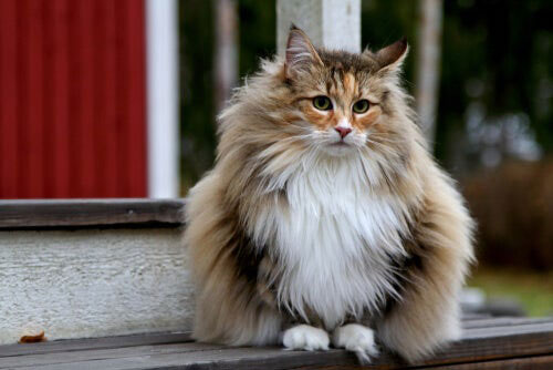 tipos de gatos de pelo largo