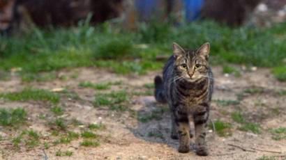 Gatos salvajes: características, tipos, imágenes
