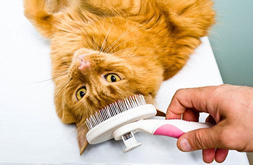Cómo cepillar a tu gato