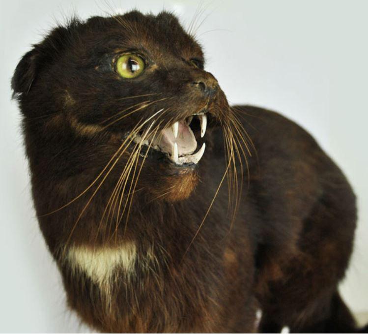 Gato Kellas escoces