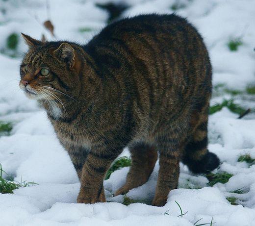 Gato Kellas