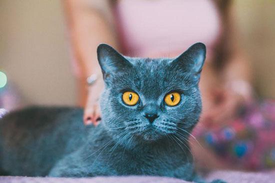 Razas de gatos medianos