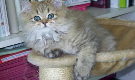 Juguetes para gatos persas