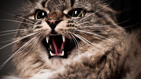 Gatos agresivos