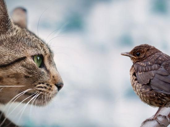 los gatos cazan pajaros