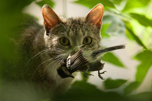 Por qué los gatos cazan aves